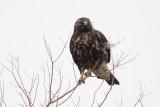 Immature Dark-morph Swainson's Hawk