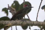 Bronze-winged Woodpecker