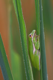 Green Tree-Frog