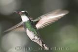 humming_bird_