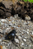 Almost there!!! Dor beetle and manure, revisited