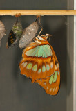 Malachite and Green Triangle Butterflies