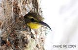 Nesting Olive Backed Sunbird
