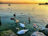 Swans' sunset