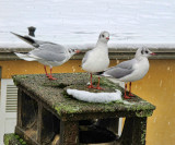 There are not many placese today where a gull can have a rest.....