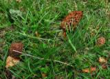 Morilles mushrooms