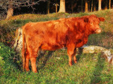Cow in the sun...