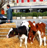 Too young calves don't realize that it might be dangerous to be in front of a restaurant...