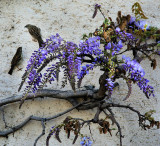 Free-climbing sparrows and the first wisteria nearly in blossom