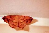 Mothra, Night Visitor
