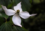 Dogwood Angel