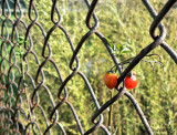 Fence Berries