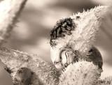 Milkweed Beetle Mambo