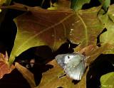 Acid Butterfly