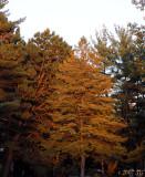 Sunlit Pine