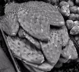 Prickly Paddles