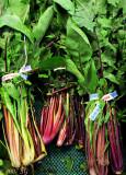 Skeins of Turnip Greens