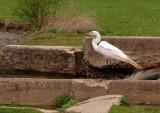 Great Egret Waits