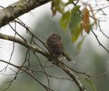 Mountain Pygmy Owl_Mitziton San Cristobal area