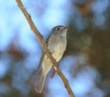 possible Pine Flycatcher_1_Moxviquil