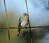 Traills Flycatcher_2_Moxviquil
