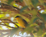 White-naped Brush-finch_Moxviquil