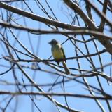 Yellow-olive Flycatcher_2_El Sumidero_1