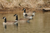 Cackling Goose with Giant Canada Geese