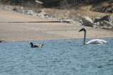 Trumpeter Swan and Cackling Goose