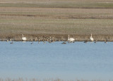 Trumpeter Swans, Lake Co., TN