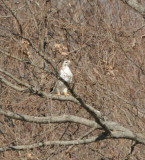 Light phase Eastern Red-tailed Hawk with Krider's introgression