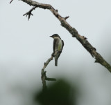 Olive-sided Flycatcher_2.jpg