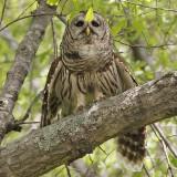 Barred Owls  Bayou Imbeau