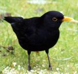 Blackbird take 2