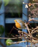 Robin.pic