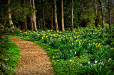 50000_daffodils