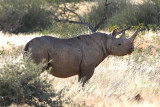 Stalking Black Rhino On Foot.jpg