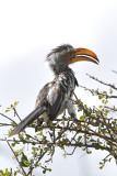 Old Hornbill