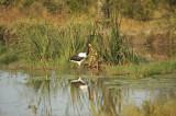 Saddlebill Stork.jpg