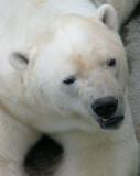 l'ours blanc grognon