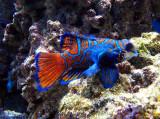 le poisson orange et bleu
