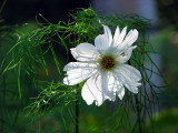 les fleurs blanches à contrejour