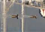 canards coupant les mats