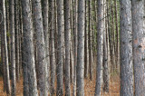 Plantation Pines