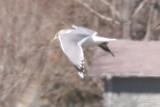 Mew Gull, Colorado, 20 March 2008