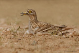 Stone Curlew.