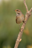 Bluethroat.(female)