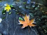 Maple leaves on the creek edge