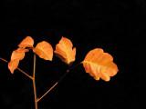 Poison Oak in the fall