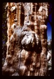 Ancient Lodgepole Pine wood grain
